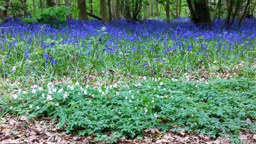 Bluebells, Stanmer Woods, Brighton - 22 April 2017